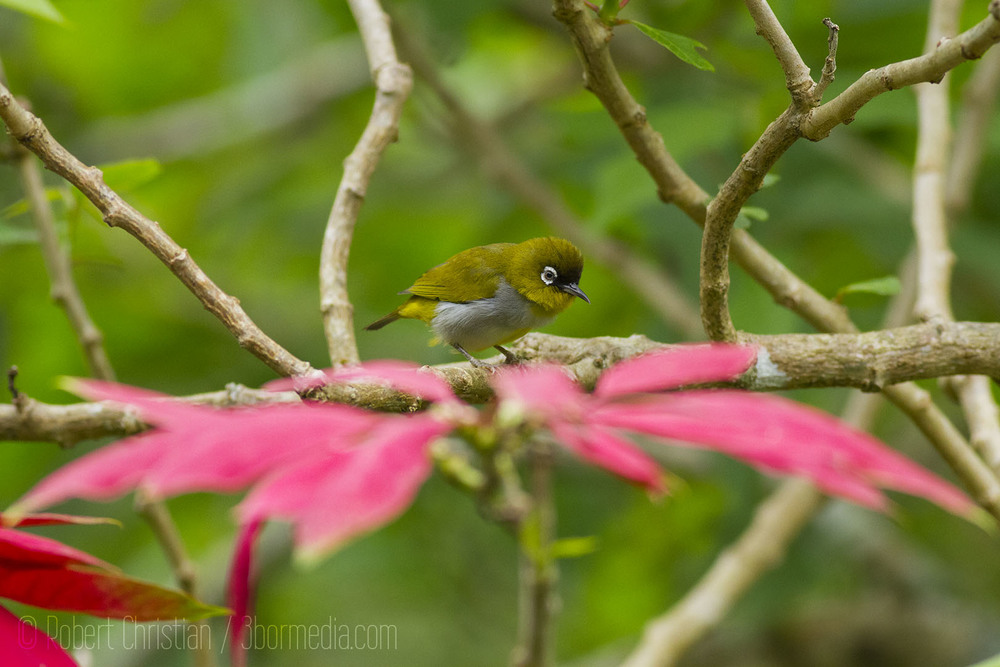 Black-Capped White-Eye.