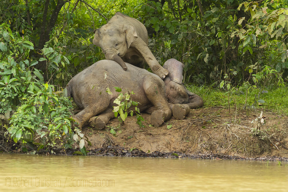 A young elephant stand on its mother.