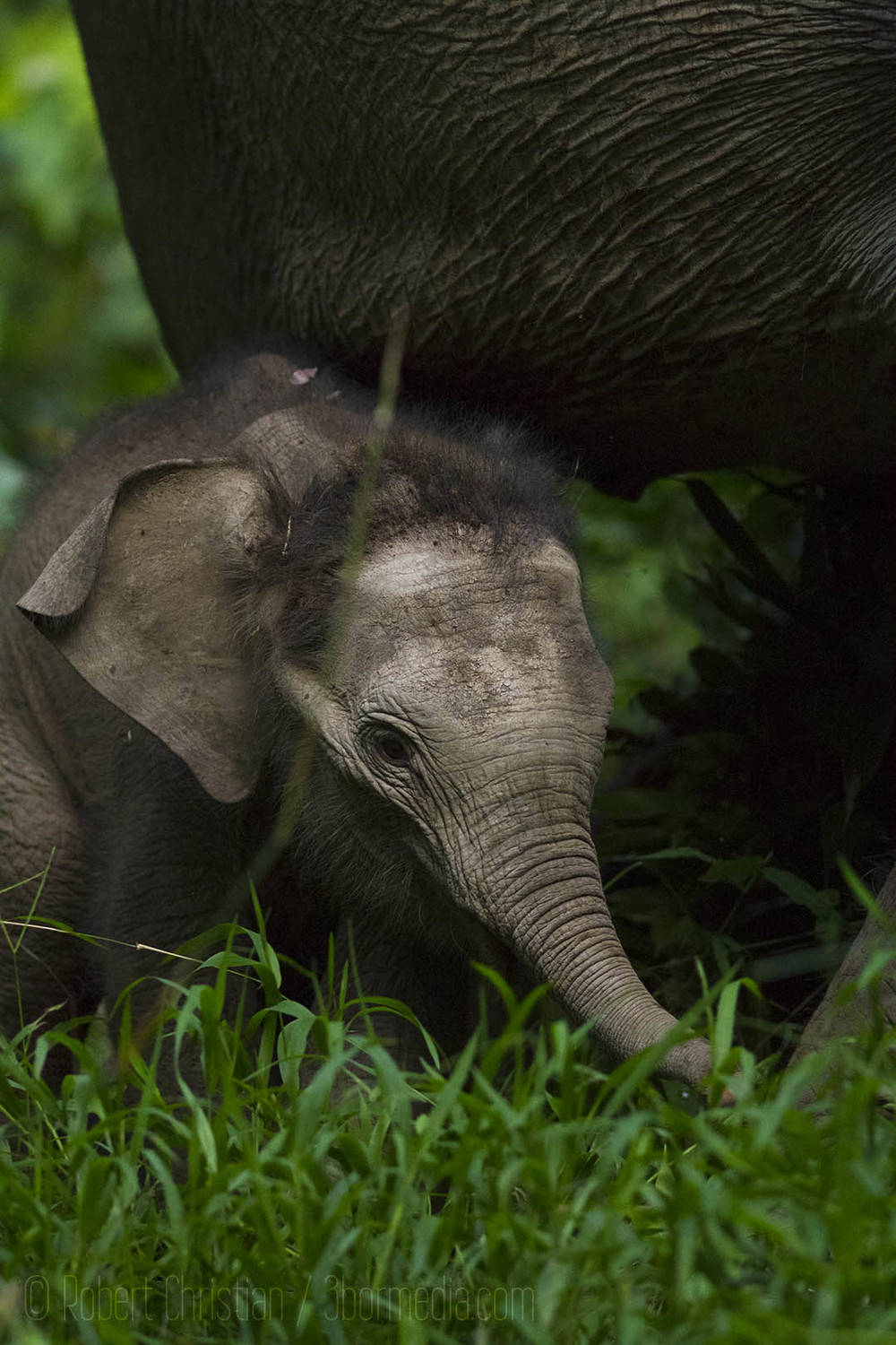 A baby elephant with its mother.