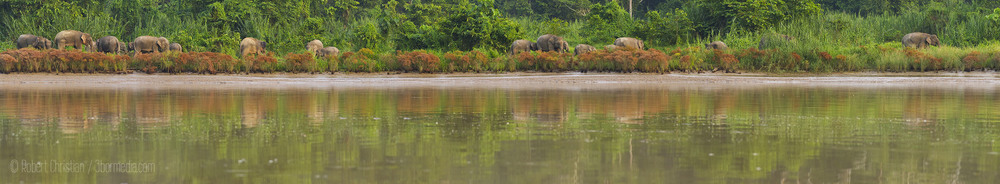 A large group of elephants on the banks of the Kinabatangan.