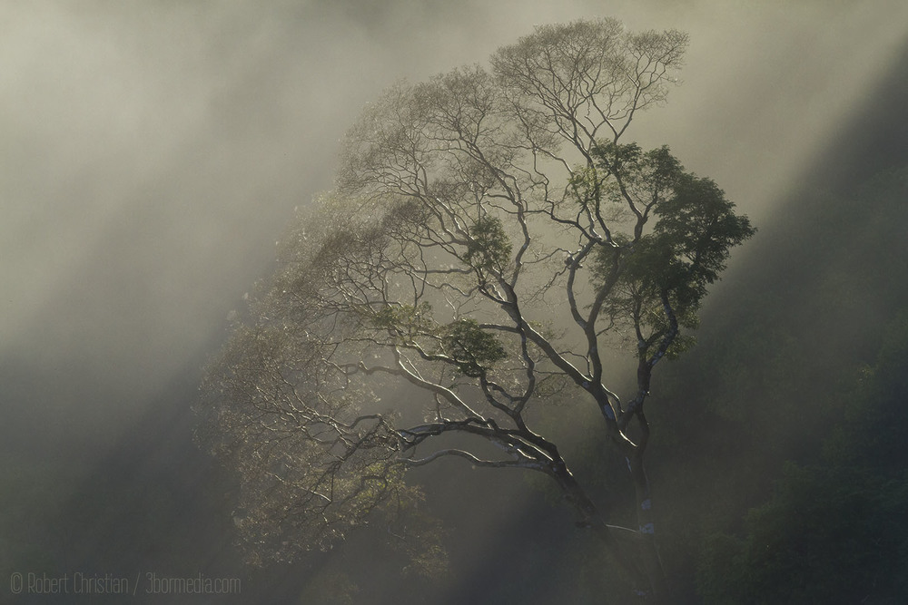 Misty Canopy