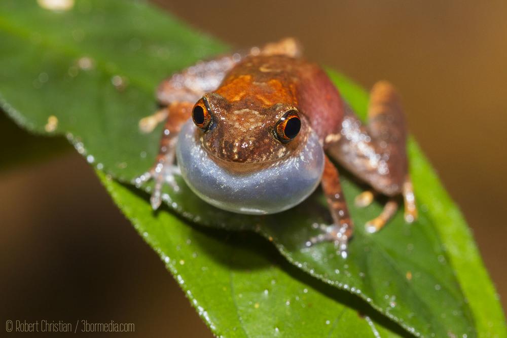 Dwarf Litter Frog