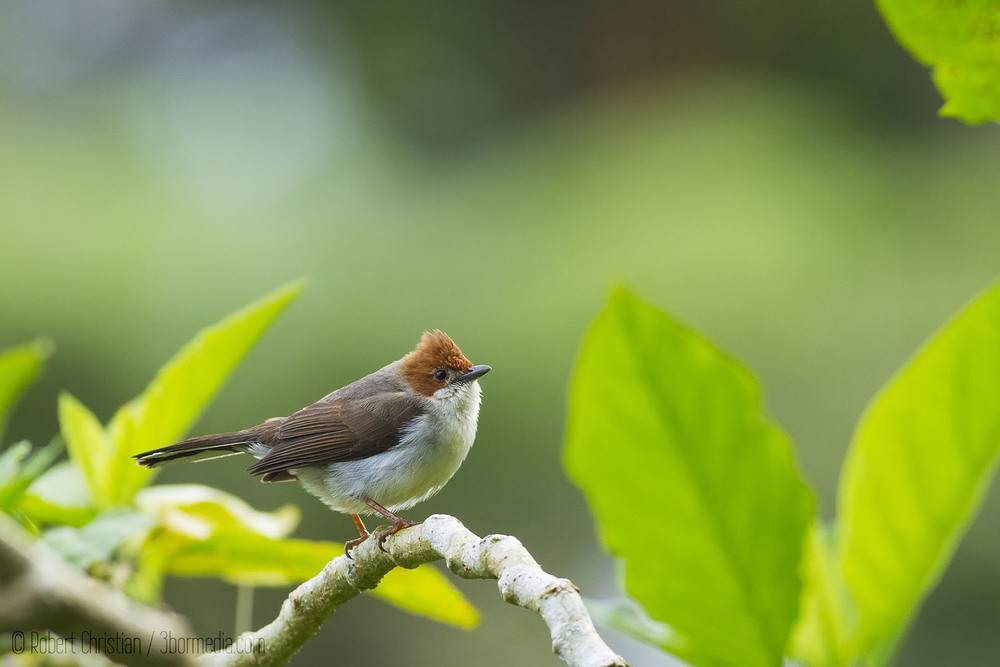 Chestnut-Crested Yuhina
