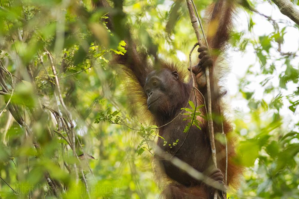 Wild Bornean Orangutan