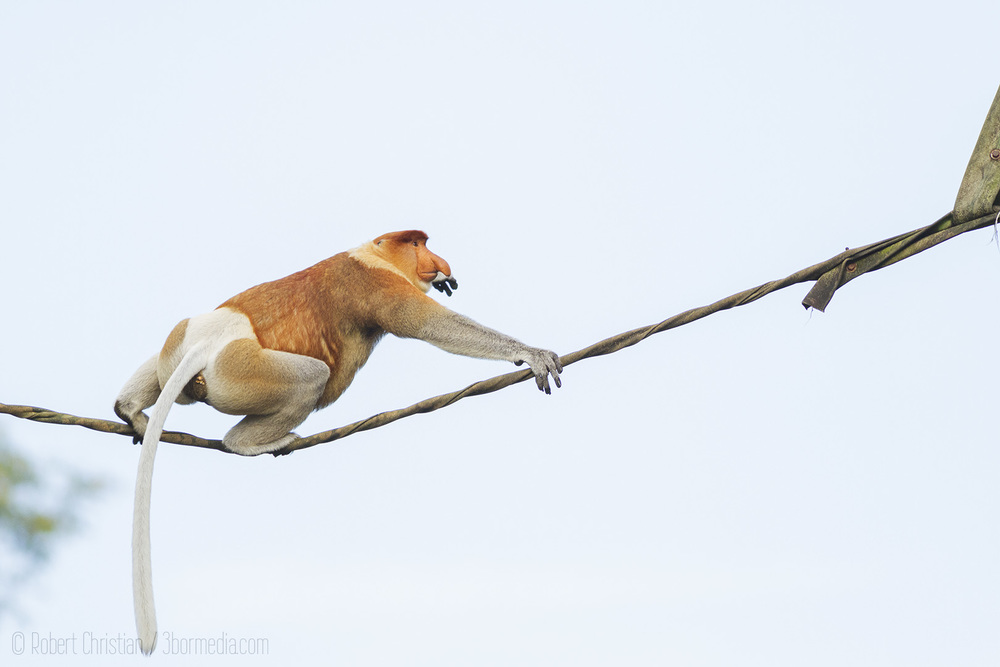 Male Proboscis Monkey crossing an Orangutan Bridge