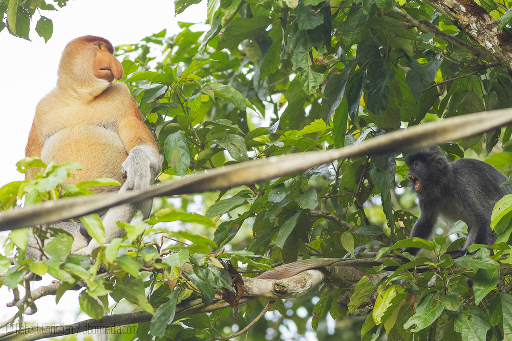 A Silver Leaf Monkey meets a large male Proboscis Monkey on an Orangutan Bridge