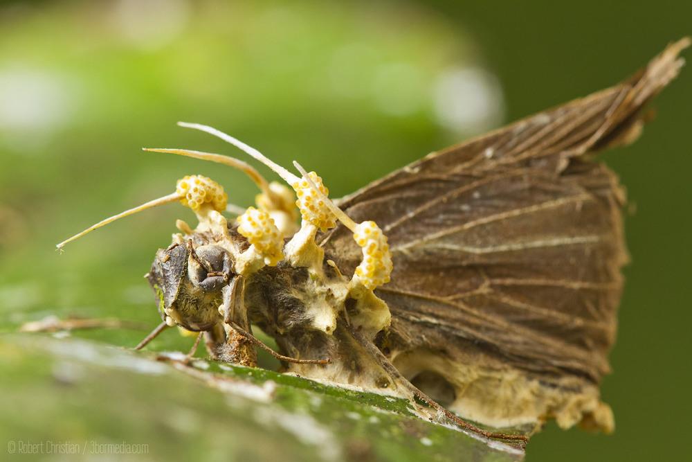 parasitic fungus moth©.jpg