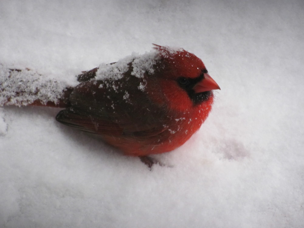 ...like this puffy cardinal...