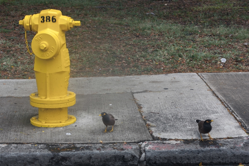 Hawaiian fire hydrants are different.  The birds are too.