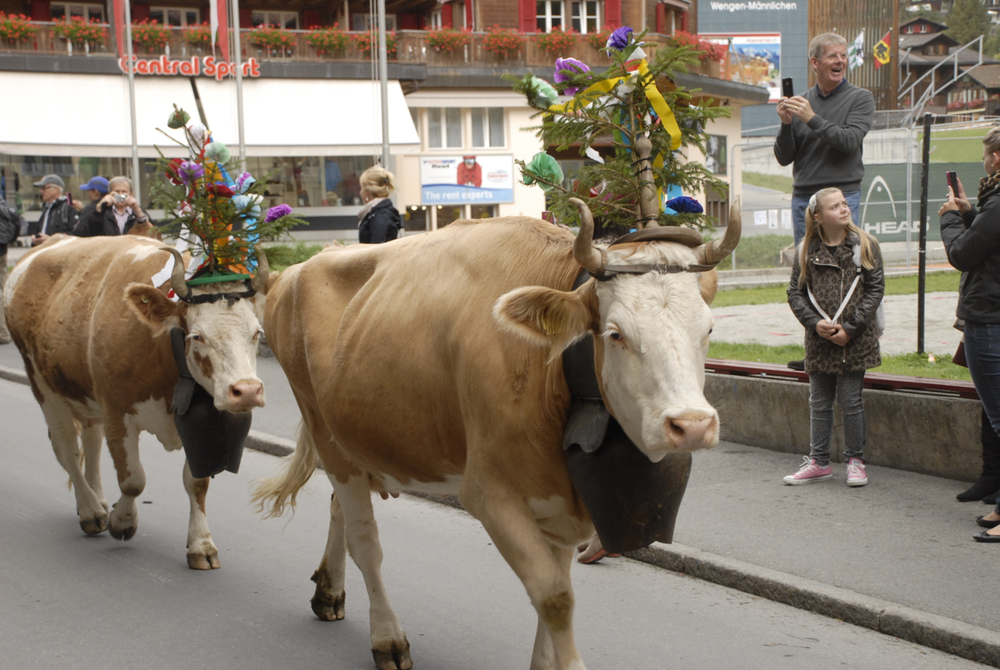My first Swiss cow parade