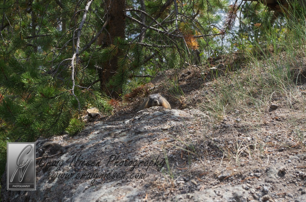 yellow-bellied marmot, Yellowstone National Park