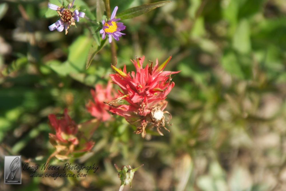 Flowers from Logan Pass, Glacier National Park (Shelley)
