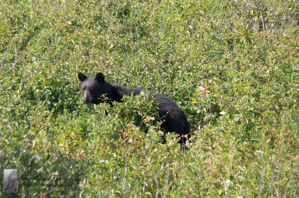 Bear in a Berry Patch, Glacier National Park