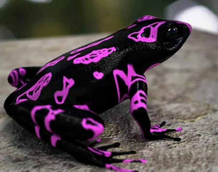 atelopus-frog-clown-frog.jpg