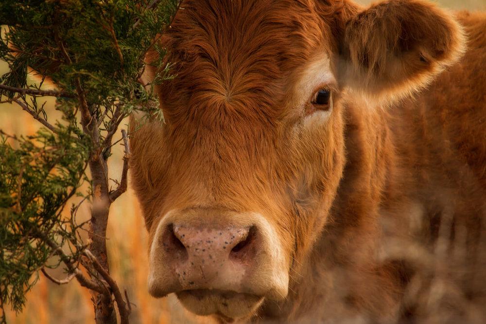 the-power-of-the-red-heifer-1.jpg