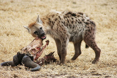"A Hyena shows a real world example of the advertising ""pitch"""