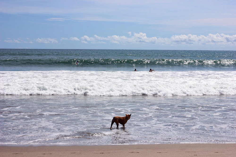 Dog watches his owner's kids surfing.