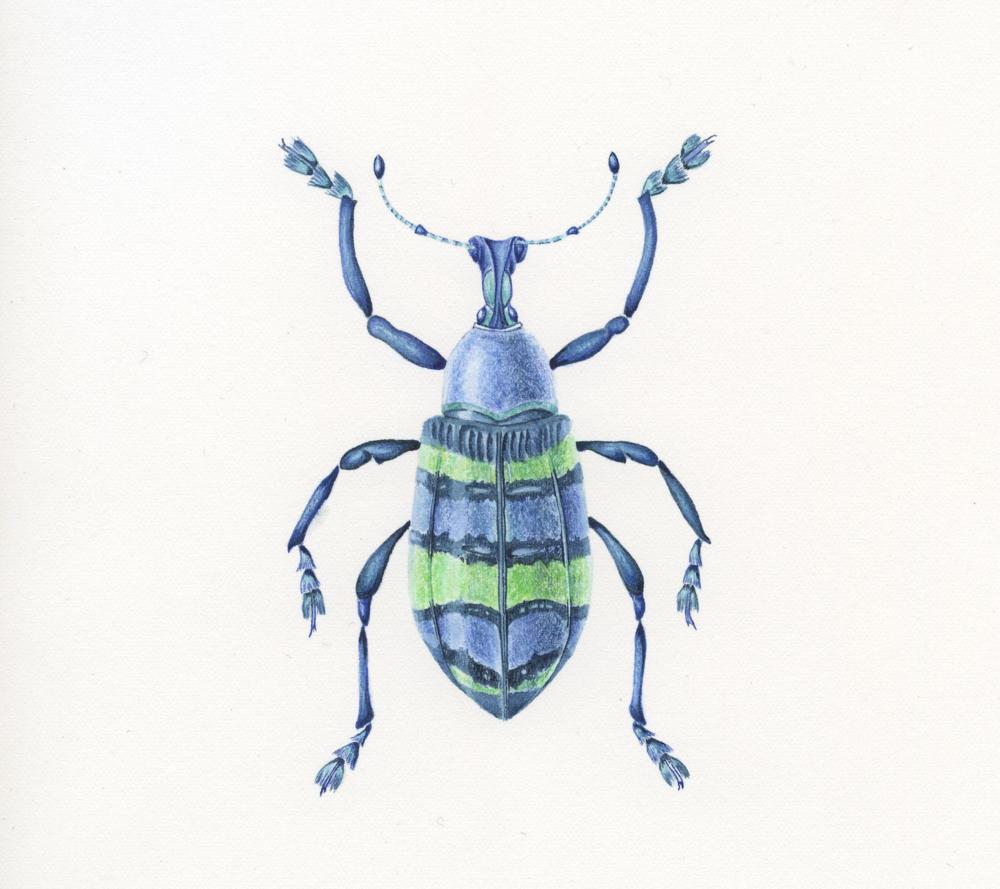 Weevil.png