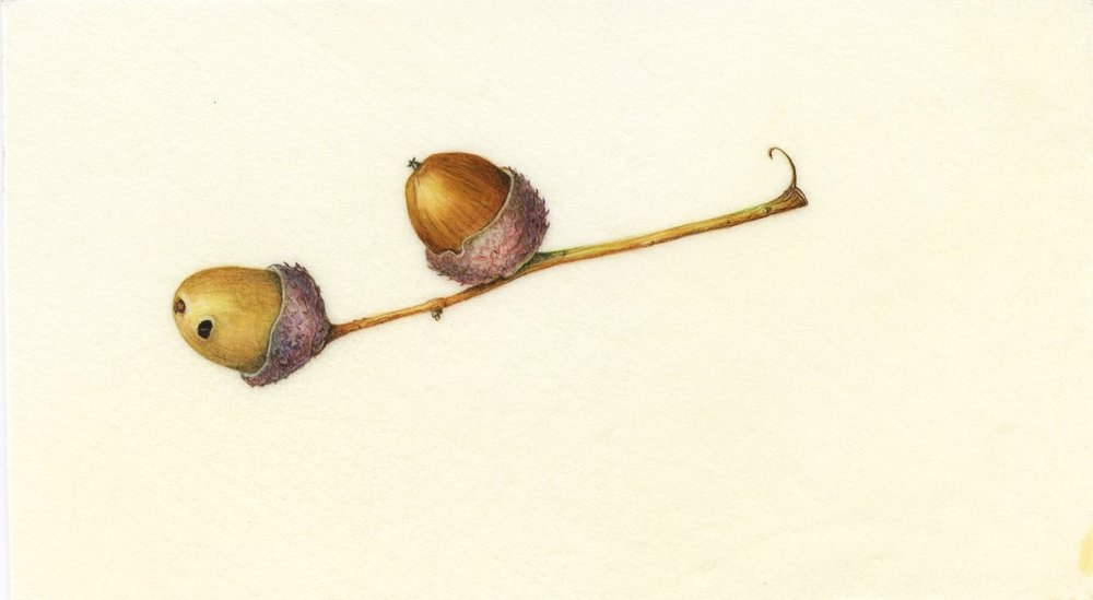 Acorns - on vellum