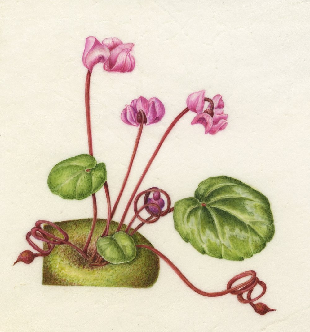 Cyclamen coum - on vellum