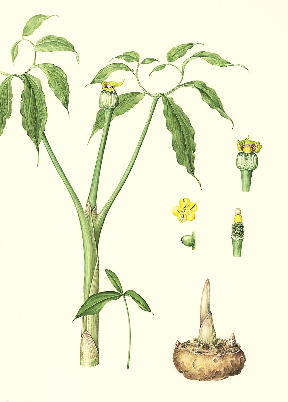 Arisaema flavum