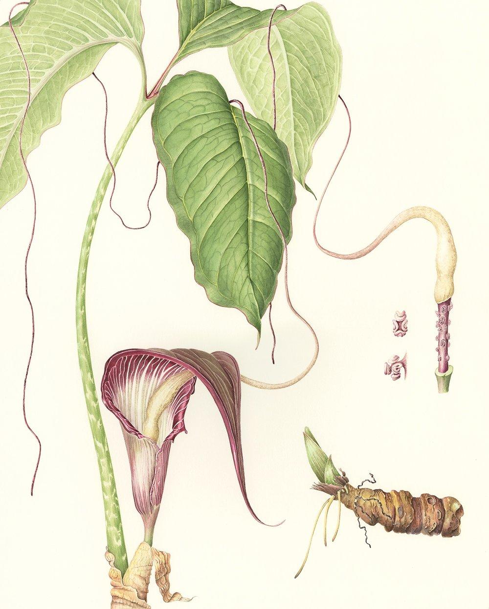 Arisaema speciosum var. mirabile