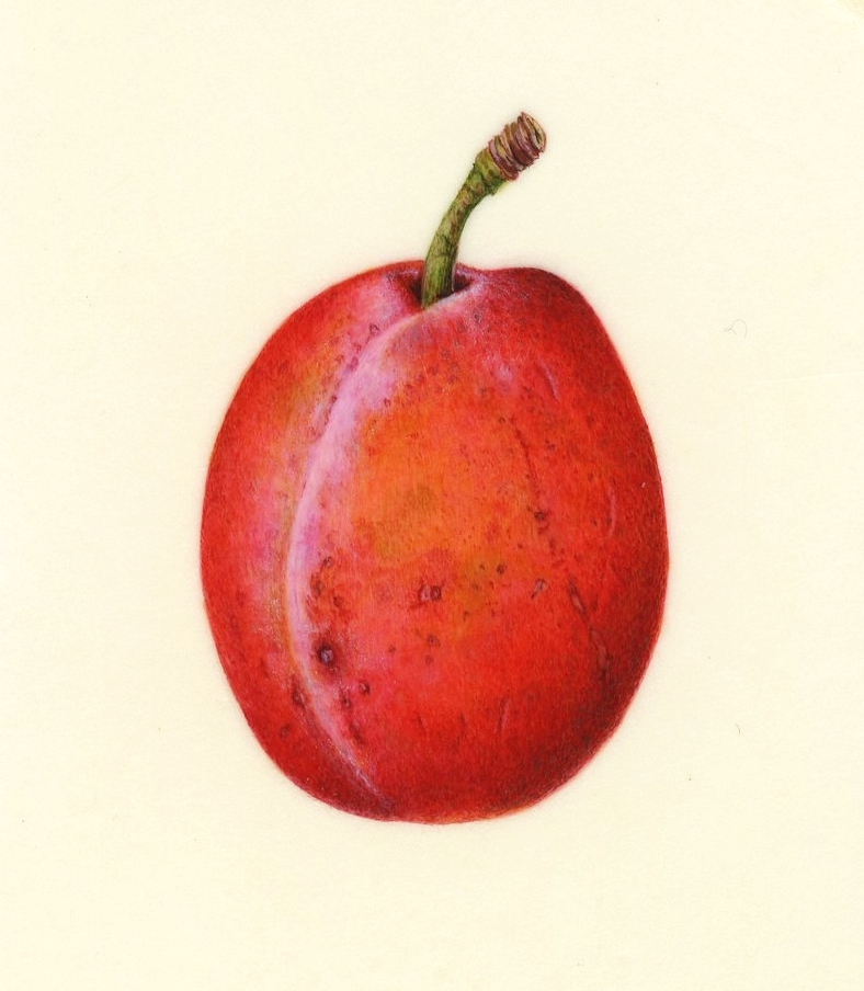 Victoria plum on vellum