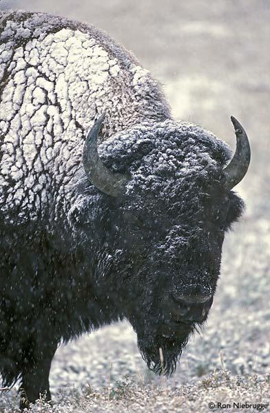 Buffalo-Snow-2..jpg
