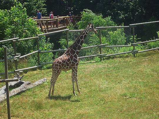 15. giraffe_july25.jpg