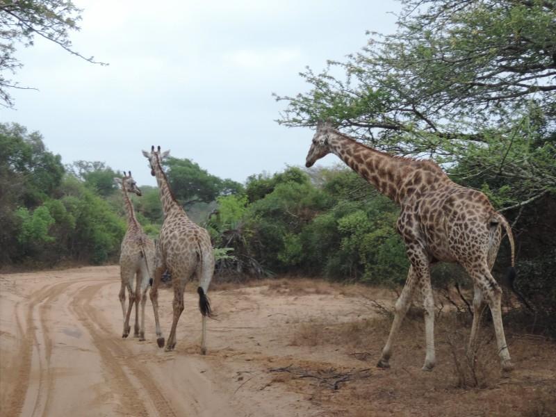 animal-giraffe-2.jpeg