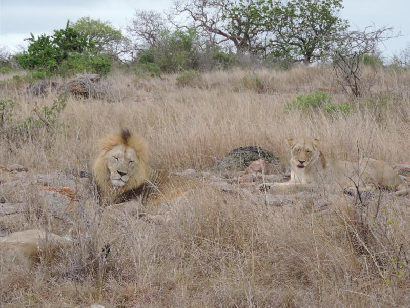 animal-lion-1.jpeg