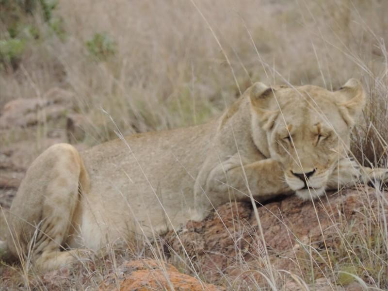 animal-lion-5.jpeg