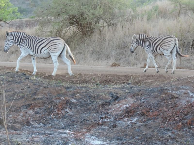 animal-zebra-2.jpeg