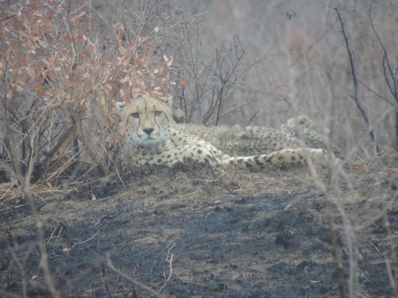 animal-jaguar-2.jpeg