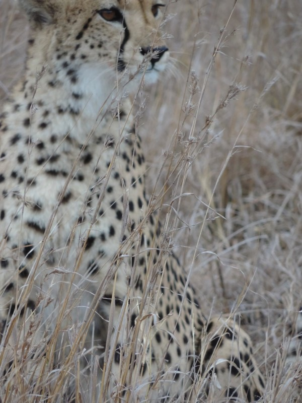animal-jaguar-6.jpeg