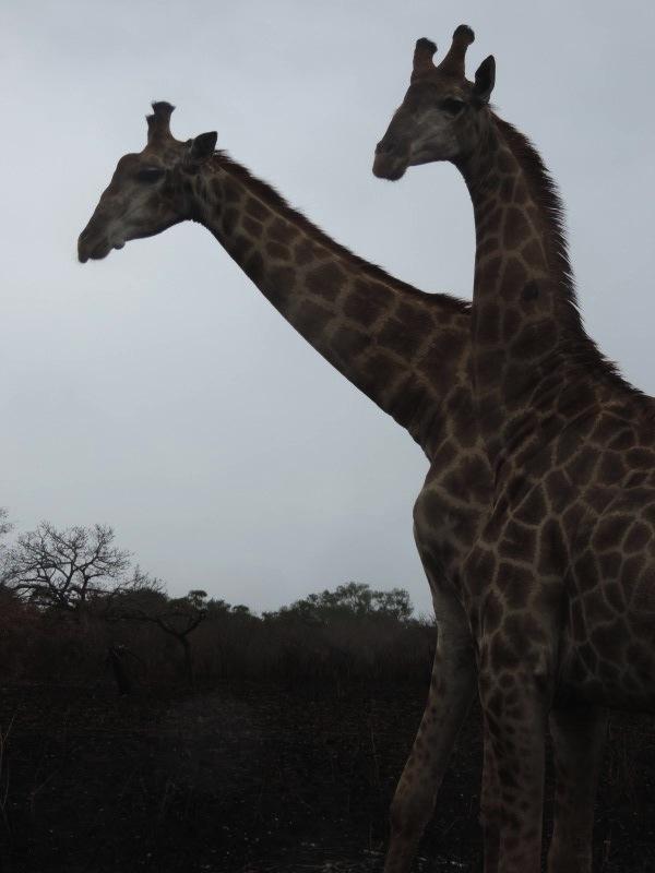 animal-giraffe-1.jpeg