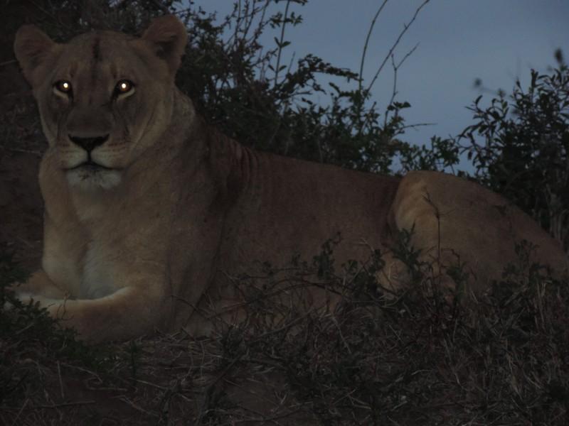 animal-lion-10.jpeg