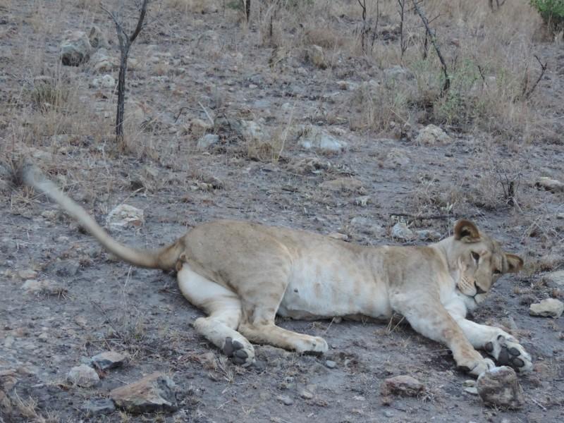animal-lion-12.jpeg