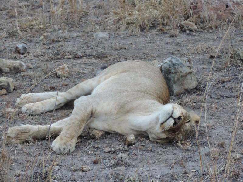 animal-lion-13.jpeg