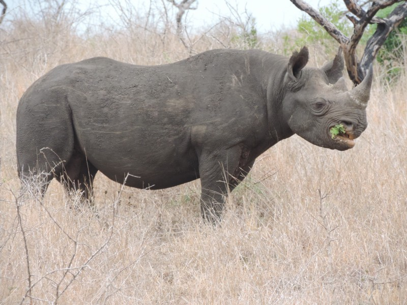 animal-rhino-3.jpeg