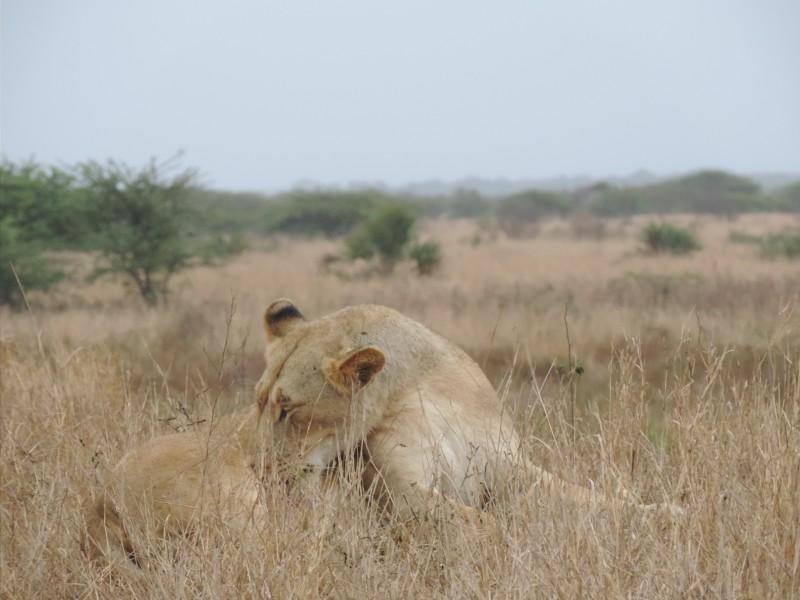 animal-lion-11.jpeg