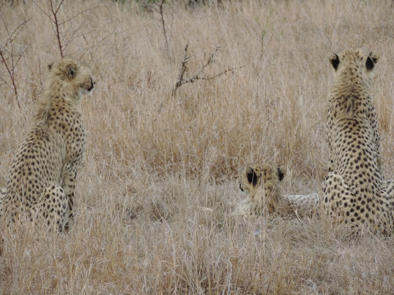 animal-jaguar-7.jpeg