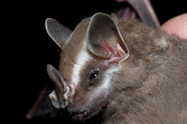 Corrolia Fruit Bat.jpg