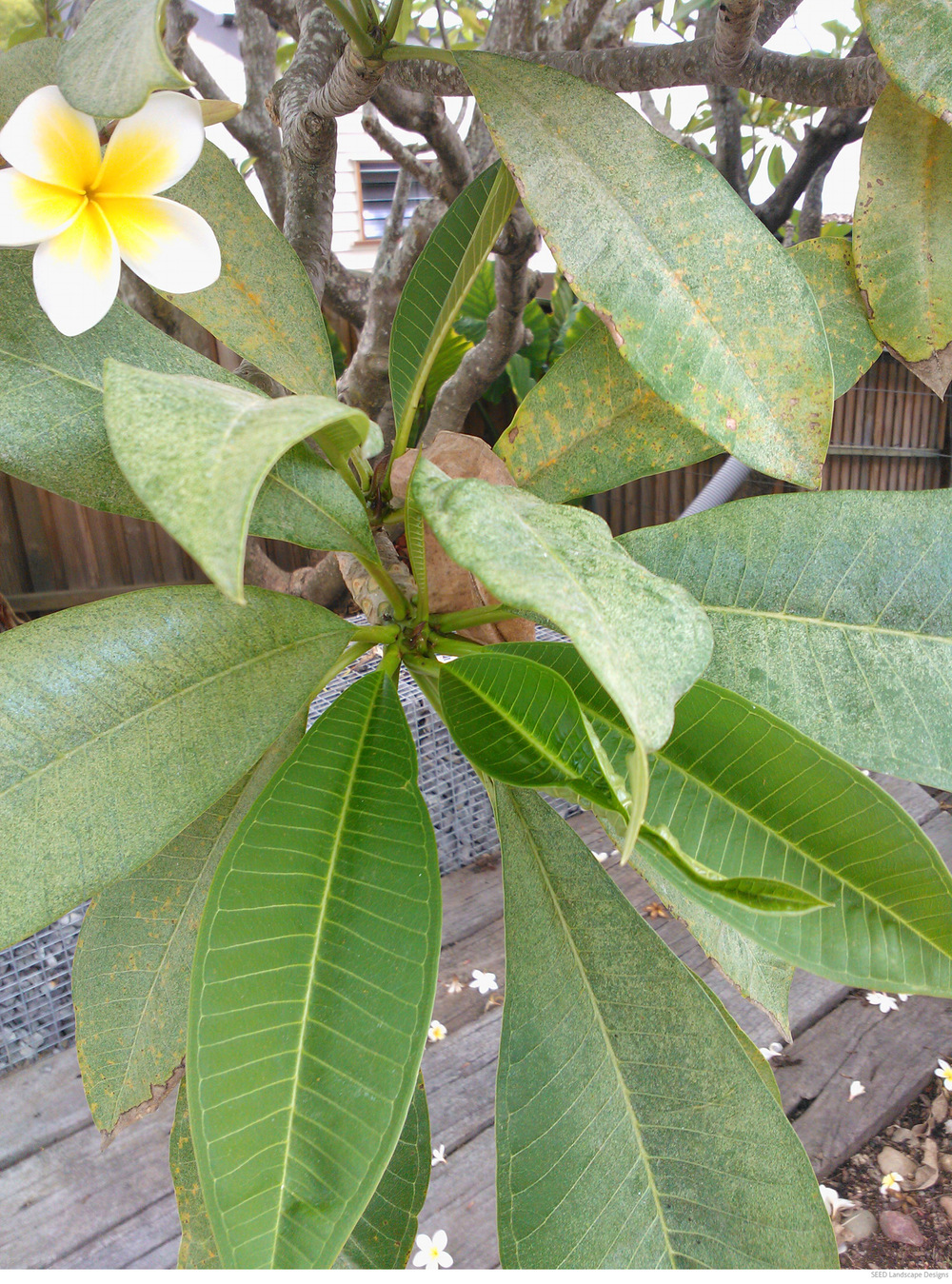 frangipani-rust1.jpg
