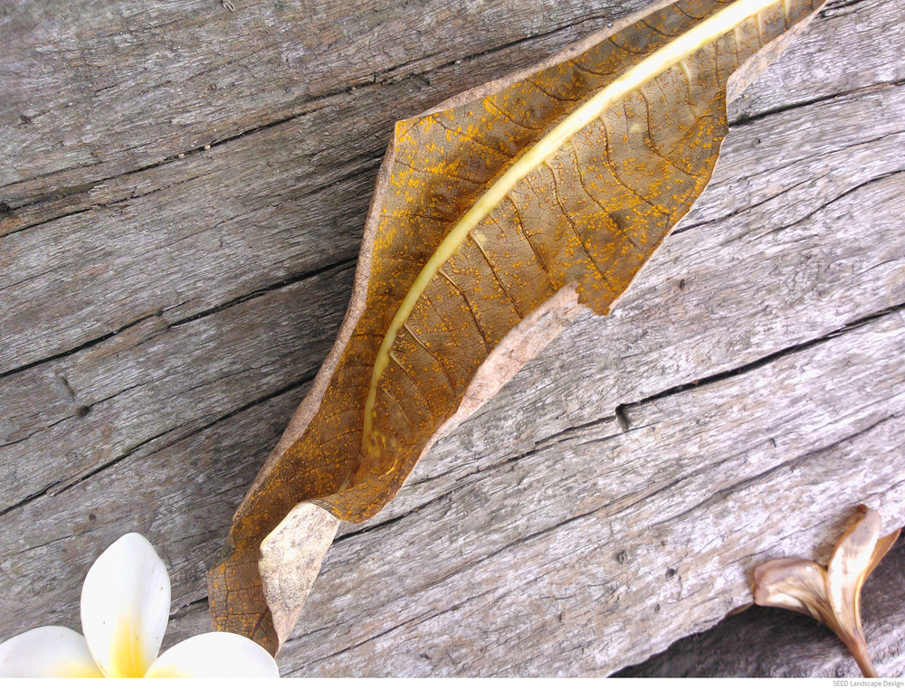 frangipani-rust2.jpg