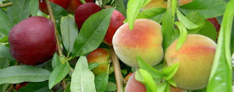 fruit-salad-tree-company.jpg