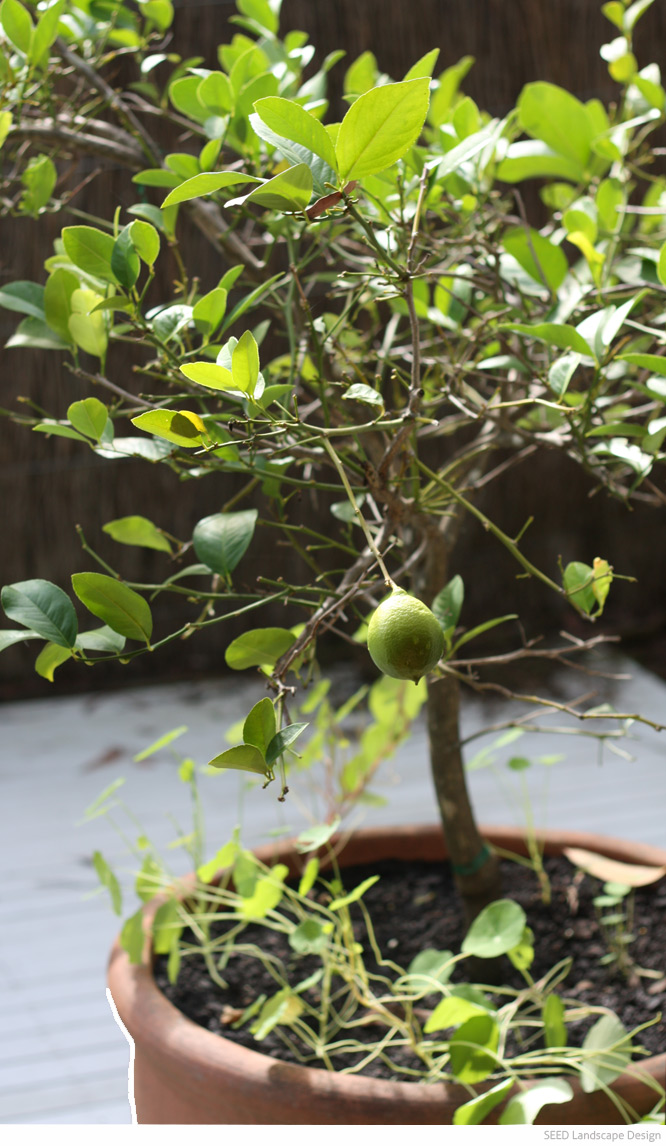 how to grow fruit trees in brisbane