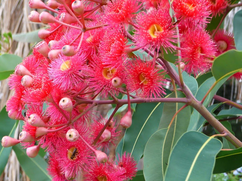 eucalyptus-summer-red.jpg