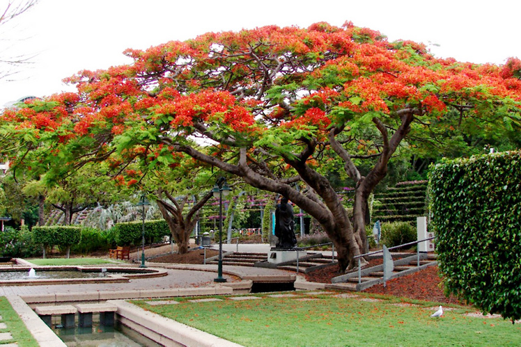 An iconic Brisbane tree the Poinciana is a magnificent species providing great shade as well as vibrant colour from red through to orange flowering ... & The 5 best trees for Brisbane gardens u2014 SEED Landscape Design
