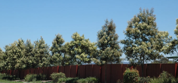 5 More Of The Best Trees For Brisbane Gardens Seed Landscape Design